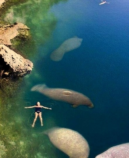 Swimming with The Manatees, Florida