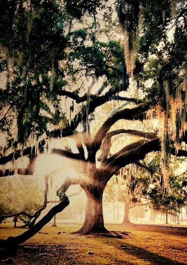 Spanish Moss Sunrise, Savannah, Georgia